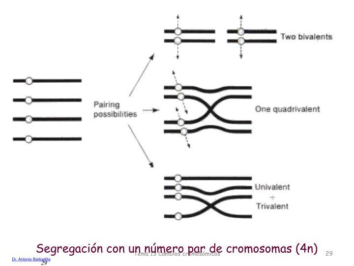 Segregación con un número par de cromosomas (4n)
