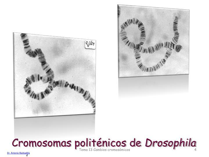 Cromosomas politénicos de