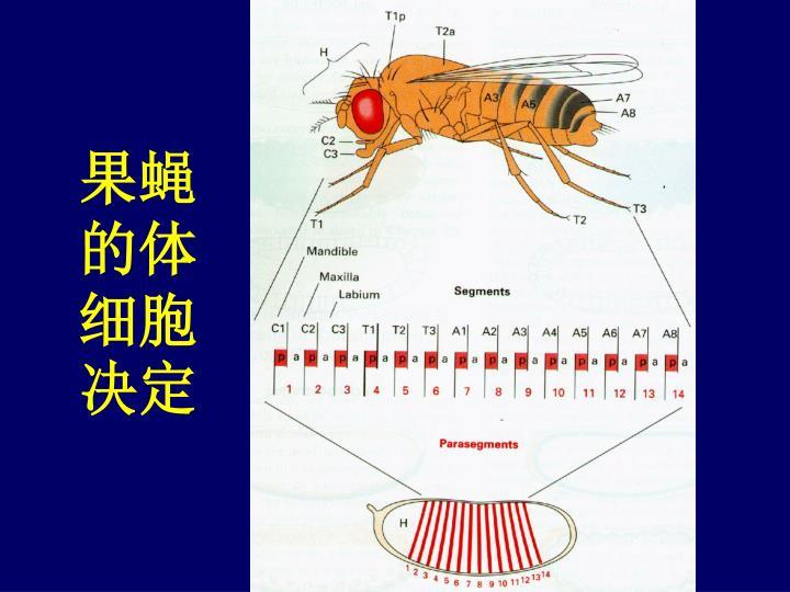 果蝇的体细胞决定
