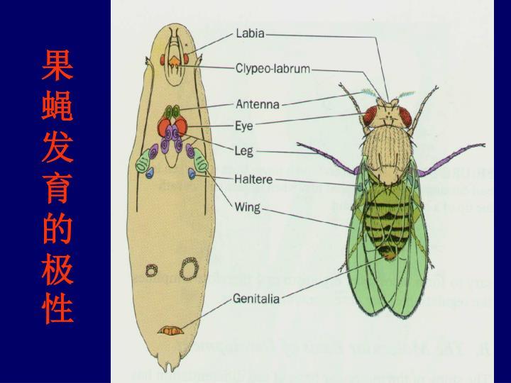 果蝇发育的极性