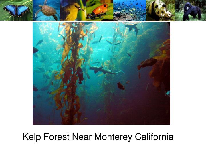 Kelp Forest Near Monterey California