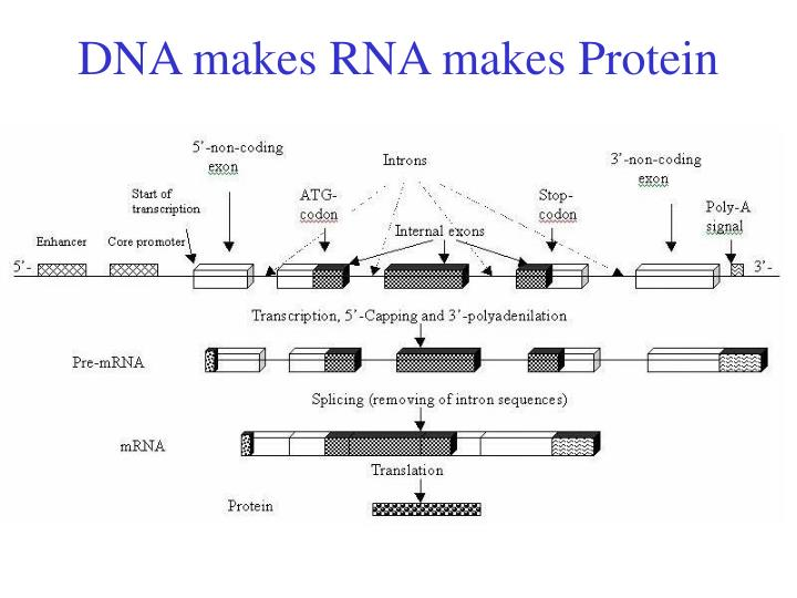 DNA makes RNA makes Protein