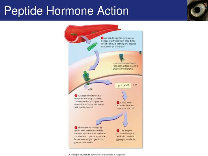 Peptide Hormone Action