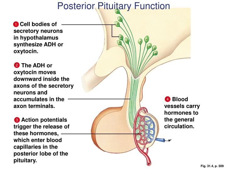 Posterior Pituitary Function