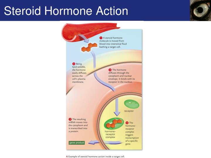 Steroid Hormone Action