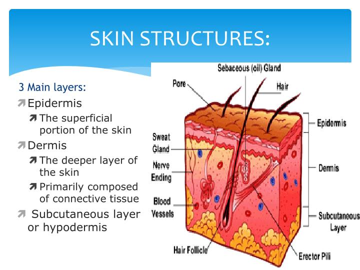 Ppt - Basic Skin Structure Powerpoint Presentation