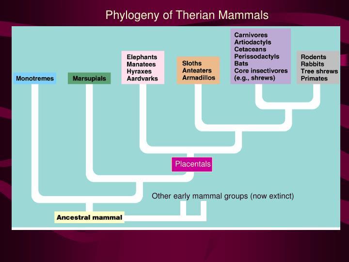 Phylogeny of Therian Mammals