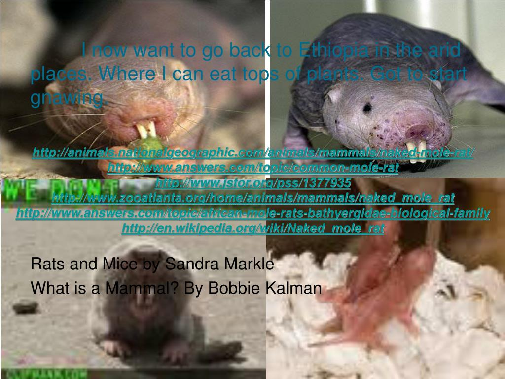 Ppt - Mole Rat By Melissa Powerpoint Presentation, Free -4438