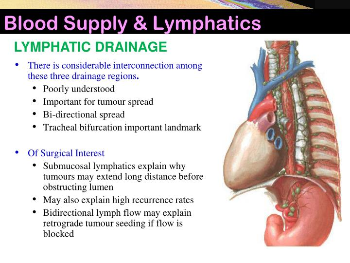 Blood Supply & Lymphatics