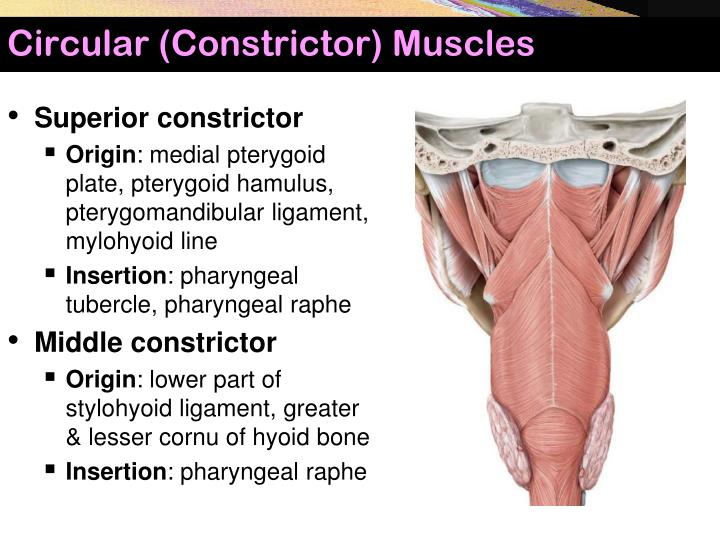 Circular (Constrictor) Muscles