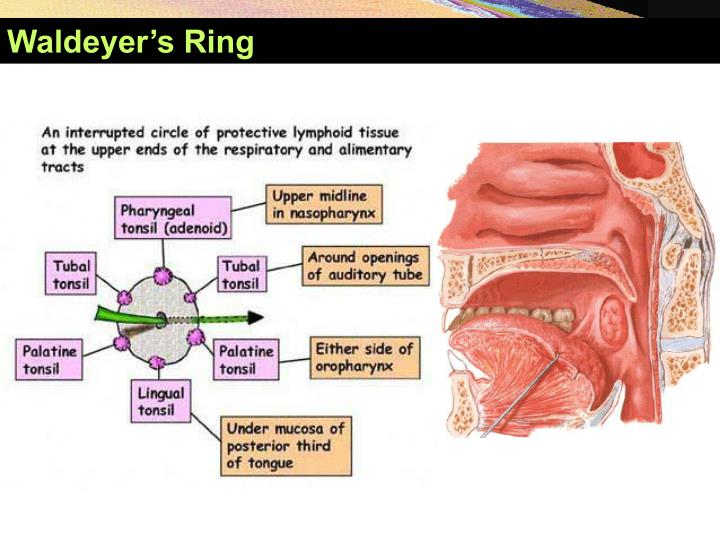 Waldeyer's Ring