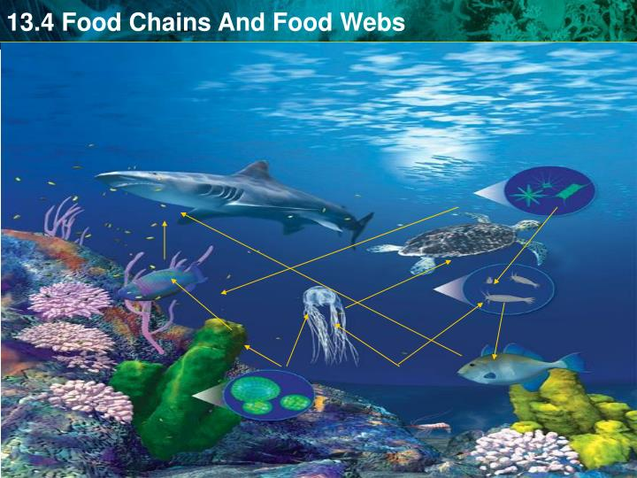 A food web shows a complex network of feeding relationships.