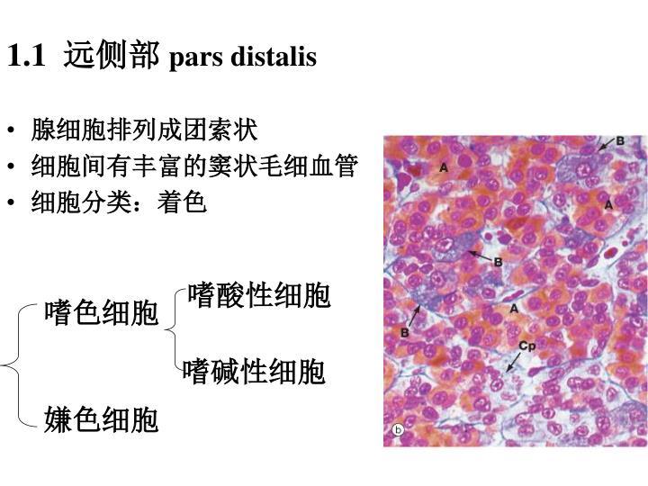 腺细胞排列成团索状