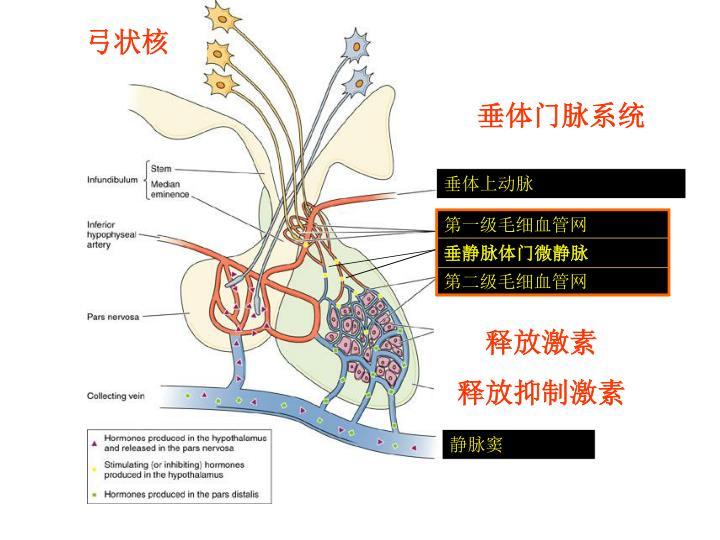 垂体上动脉