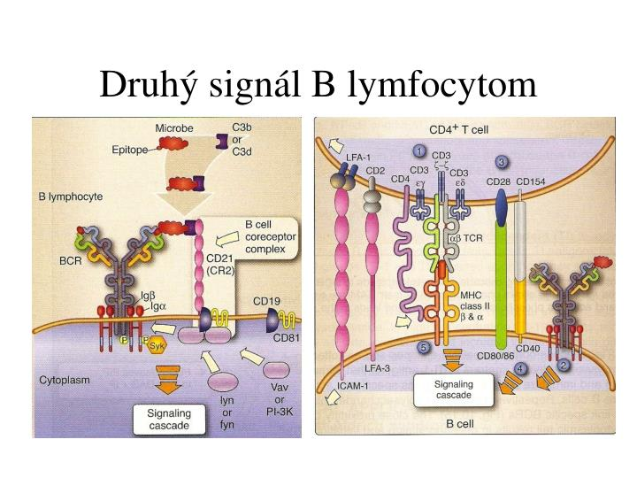 Druhý signál B lymfocytom