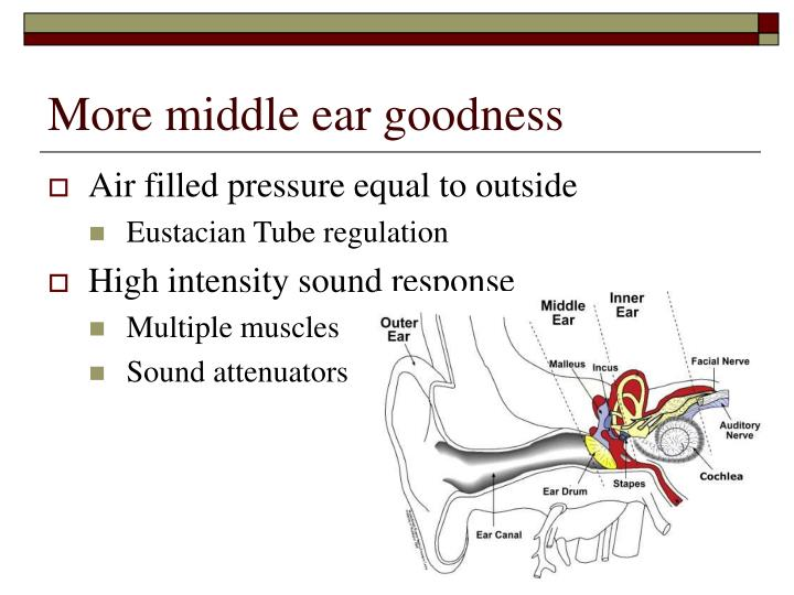 More middle ear goodness