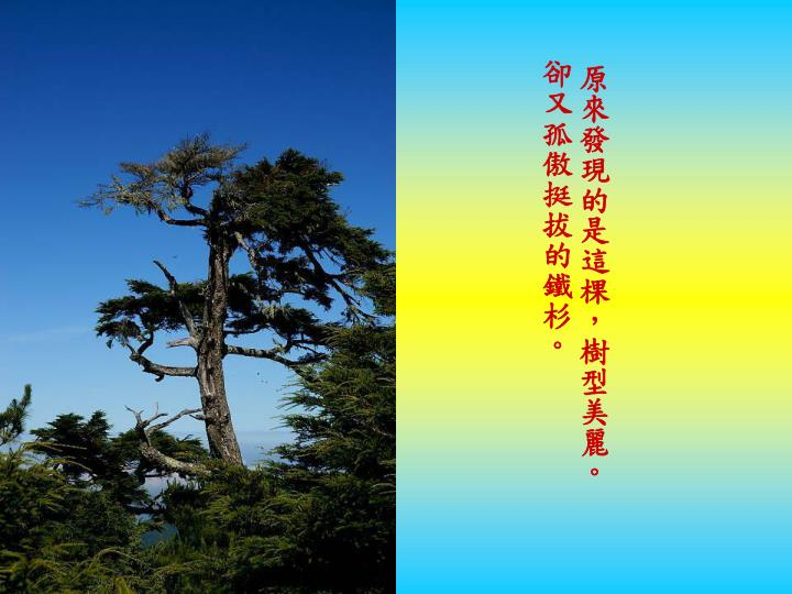 原來發現的是這棵,樹型美麗。