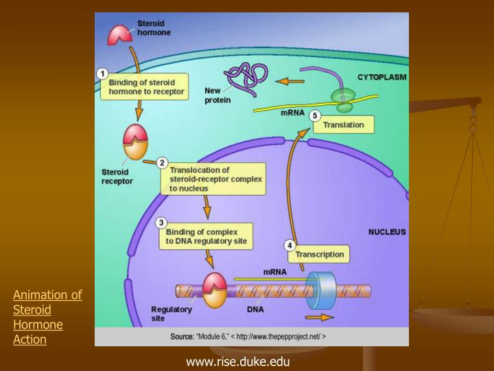Animation of Steroid Hormone Action