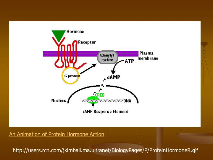 An Animation of Protein Hormone Action
