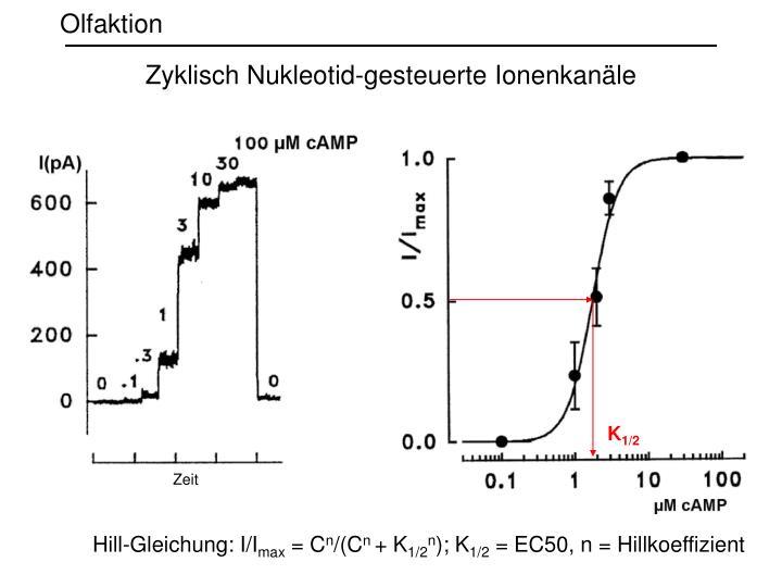 Zyklisch Nukleotid-gesteuerte Ionenkanäle