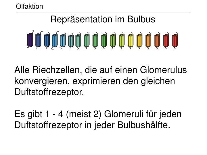 Repräsentation im Bulbus