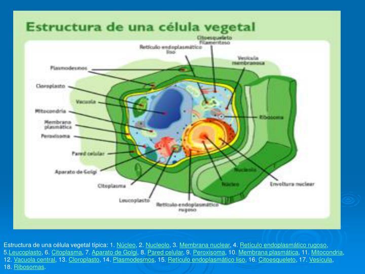 Estructura de una célula vegetal típica: 1.