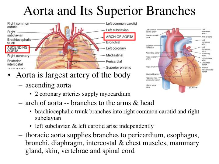 Aorta and Its Superior Branches