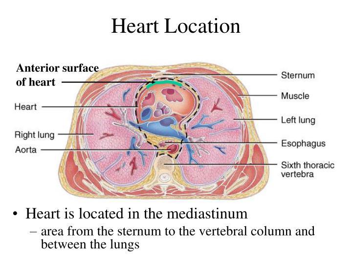 Heart Location