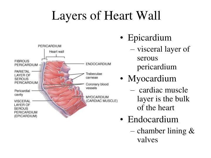 Layers of Heart Wall