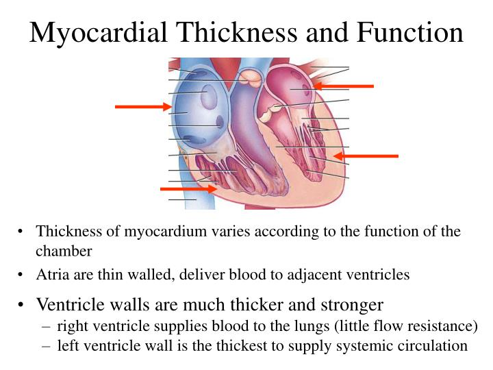 Myocardial Thickness and Function