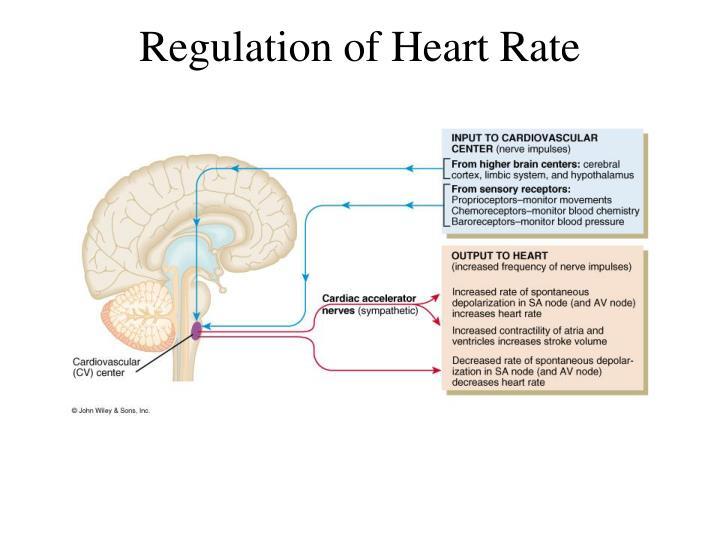 Regulation of Heart Rate