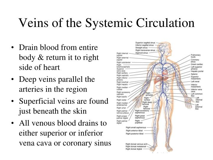 Veins of the Systemic Circulation