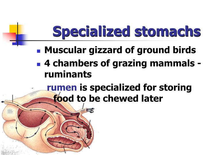 Specialized stomachs