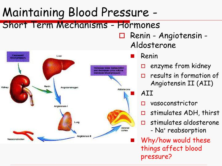 Maintaining Blood Pressure -
