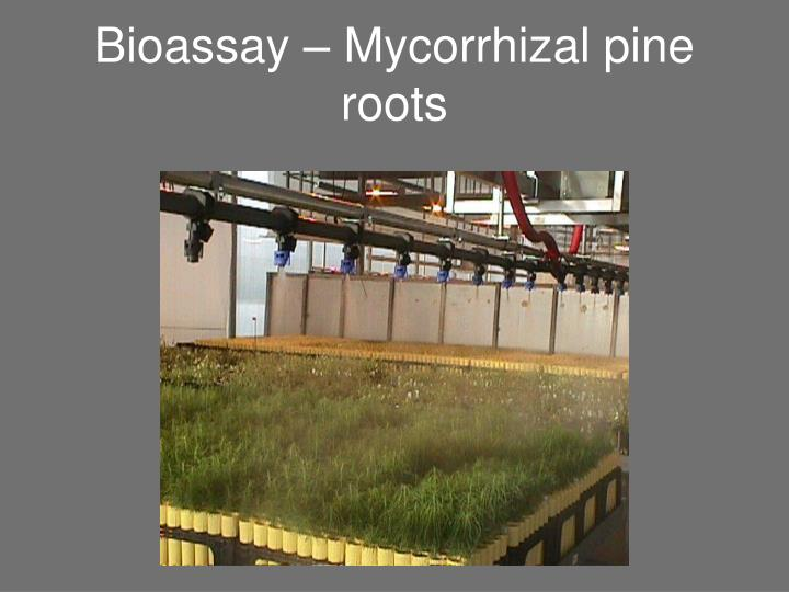 Bioassay – Mycorrhizal pine roots