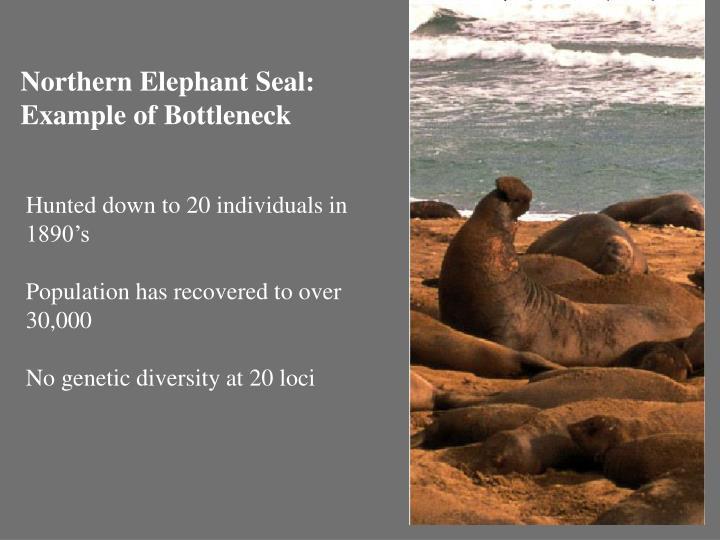 Northern Elephant Seal: