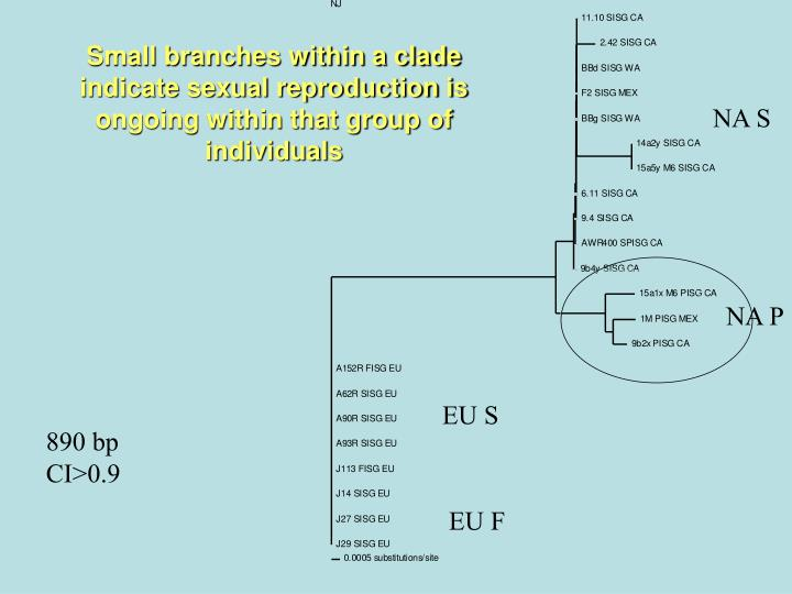 Small branches within a clade indicate sexual reproduction is ongoing within that group of individuals