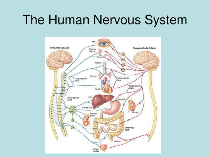 the human nervous system n.