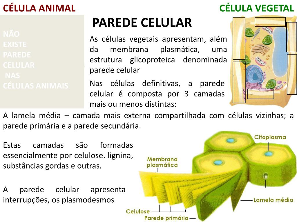 Ppt Célula Animal Powerpoint Presentation Free Download