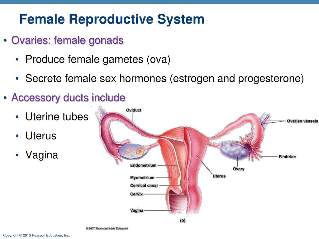 Ppt Female Reproductive System Powerpoint Presentation Id6147501