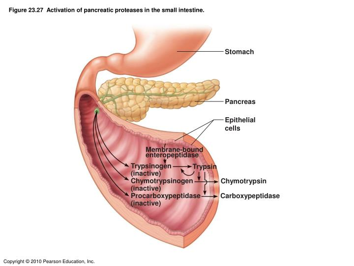Figure 23.27  Activation of pancreatic proteases in the small intestine.