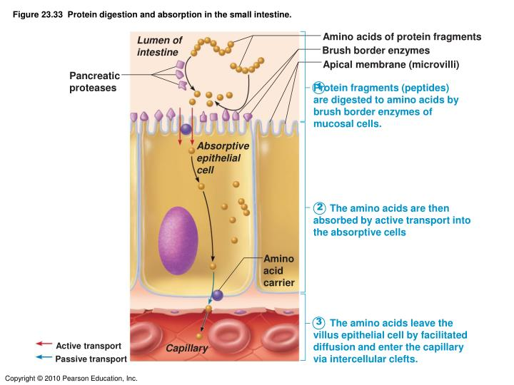 Figure 23.33  Protein digestion and absorption in the small intestine.