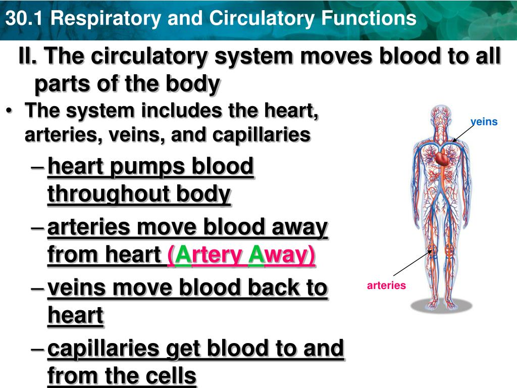 "PPT - Section 30-1 ""Respiratory & Circulatory Systems"