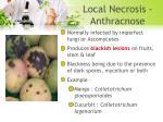 local necrosis anthracnose
