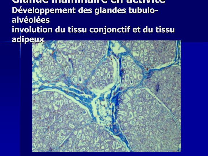 Glande mammaire en activité