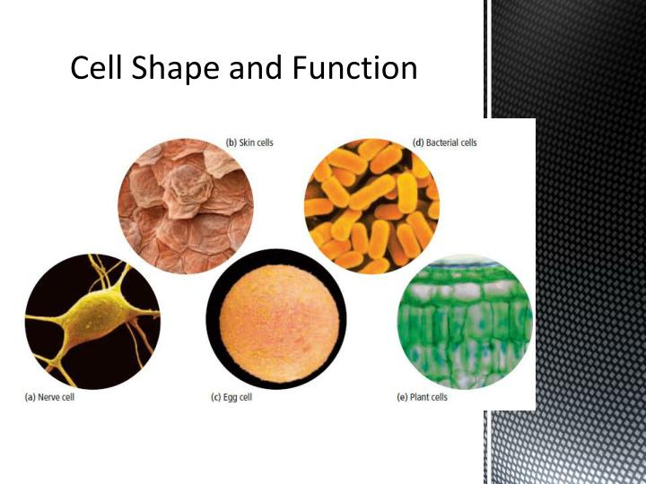 how are the shapes of cells related to their function Cell specialization cells must be shaped to perform specific functions in the context of the organism if there was no cellular specialization, every cell in your body would be the same cells - make up - tissues - make up - organs - make up - organ systems structure of cells relates to their.