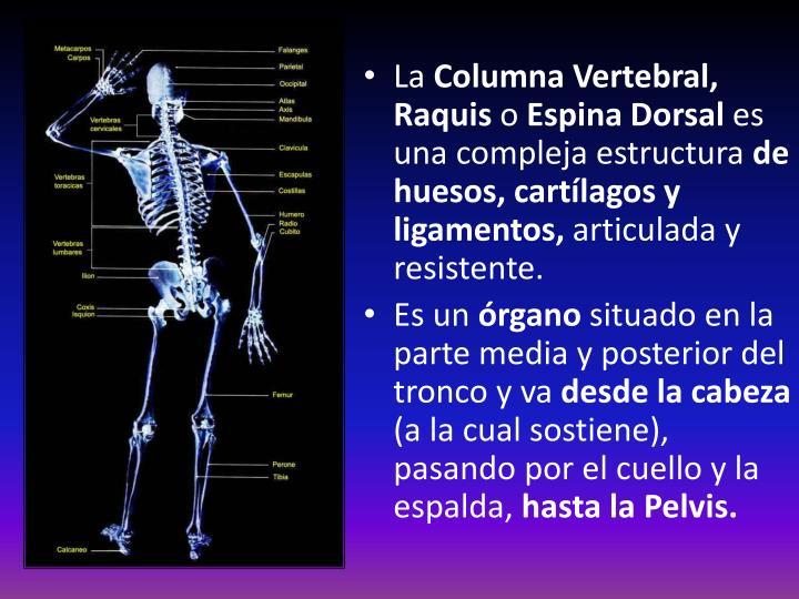 PPT - ANATOMÍA DEL RAQUIS La columna vertebral PowerPoint ...