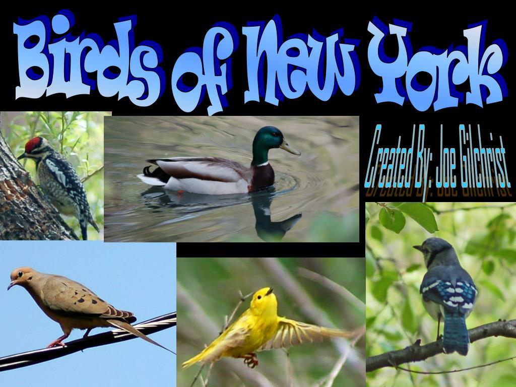 PPT - Birds of New York PowerPoint Presentation - ID:6164454