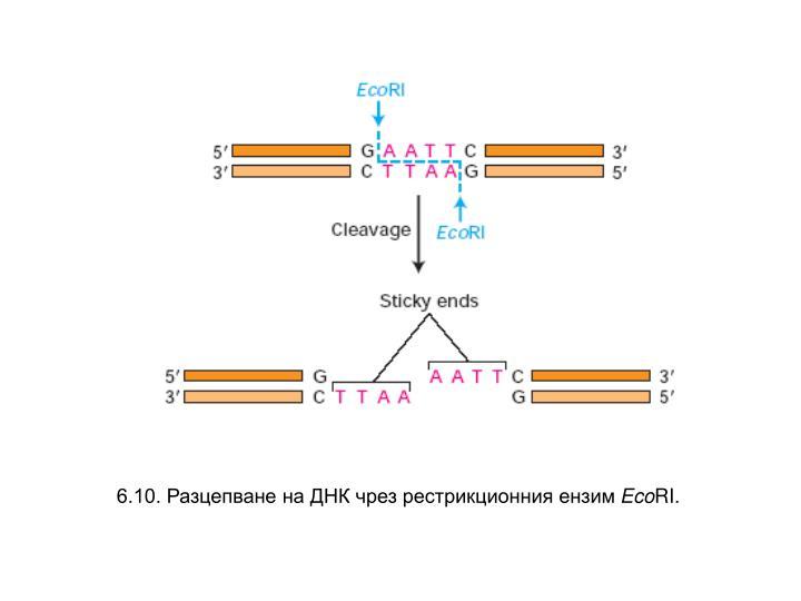 6.10. Разцепване на ДНК чрез рестрикционния ензим