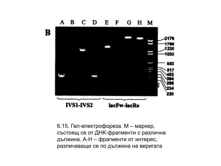 6.15. Гел-електрофореза. М – маркер, състоящ се от ДНК-фрагменти с различна дължина. А-Н – фрагменти от интерес, различаващи се по дължина на веригата